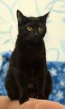 Μαύρη γάτα Βρετανοί Στοκ εικόνες με δικαίωμα ελεύθερης χρήσης