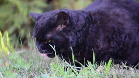 Μαύρη γάτα με τα κίτρινα μάτια υπαίθρια Η μαύρη γάτα βρίσκεται έξω στη χλόη Γάτα Selkirk rex που τρώει τη χλόη στον κήπο απόθεμα βίντεο