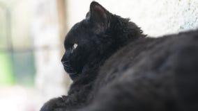 Μαύρη γάτα με τα κίτρινα μάτια υπαίθρια Η μαύρη γάτα βρίσκεται έξω στο μπαλκόνι, προσοχή το χρώμα γατών ανασκόπησης rex selkirk τ απόθεμα βίντεο
