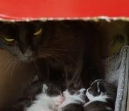 Μαύρη γάτα - μητέρα που προσέχει πέρα από τα γατάκια της στοκ εικόνες