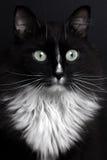 Μαύρη γάτα πορτρέτου κινηματογραφήσεων σε πρώτο πλάνο με το άσπρο στήθος Στοκ εικόνα με δικαίωμα ελεύθερης χρήσης