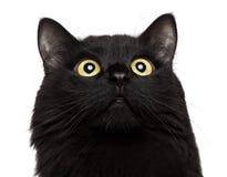 Μαύρη γάτα πορτρέτου κινηματογραφήσεων σε πρώτο πλάνο που ανατρέχει στο άσπρο υπόβαθρο στοκ φωτογραφίες