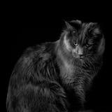 Μαύρη γάτα που εξετάζει τη κάμερα Στοκ Εικόνα