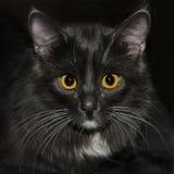 Μαύρη γάτα που κοιτάζει σε σας στοκ εικόνες
