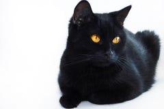 μαύρη γάτα Πολύ όμορφη γάτα Στοκ Εικόνα