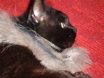 Μαύρη γάτα σε ένα κόκκινο χαλί Στοκ εικόνα με δικαίωμα ελεύθερης χρήσης
