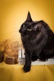 Μαύρη γάτα του Maine coon στο κίτρινο υπόβαθρο Στοκ εικόνα με δικαίωμα ελεύθερης χρήσης