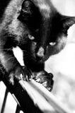 μαύρη γάτα Στοκ Φωτογραφία