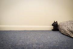 μαύρη γάτα coon Maine Στοκ φωτογραφία με δικαίωμα ελεύθερης χρήσης