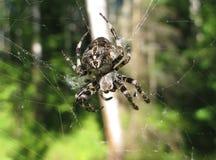 μαύρη διακοσμημένη αράχνη Στοκ Εικόνες