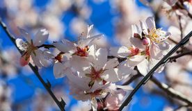 μαύρη ελευθερία έννοιας που απομονώνεται Οδοντωτά άνθη δέντρων φρακτών και αμυγδάλων καλωδίων στο υπόβαθρο μπλε ουρανού Στοκ φωτογραφία με δικαίωμα ελεύθερης χρήσης