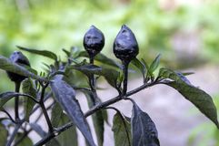 Μαύρη ελιά διακοσμητική, Annuum φρούτα καψικού και σκοτεινά φύλλα, μαύρος και κόκκινο - καυτά πιπέρια τσίλι Στοκ φωτογραφία με δικαίωμα ελεύθερης χρήσης
