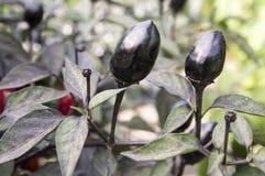 Μαύρη ελιά διακοσμητική, Annuum φρούτα καψικού και σκοτεινά φύλλα, μαύρος και κόκκινο - καυτά πιπέρια τσίλι Στοκ Εικόνες