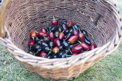 Μαύρη ελιά διακοσμητική, Annuum φρούτα καψικού, μαύρος και κόκκινο - καυτά πιπέρια τσίλι στο ψάθινο καλάθι Στοκ εικόνες με δικαίωμα ελεύθερης χρήσης