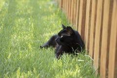 Μαύρη εσωτερική κοντή περιπλανώμενη άγρια γάτα τρίχας που βάζει στη χλόη από τον ξύλινο φράκτη Στοκ Εικόνες