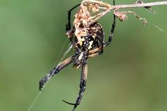 μαύρη θηλυκή αράχνη κήπων κίτ&rho Στοκ φωτογραφία με δικαίωμα ελεύθερης χρήσης