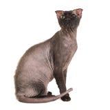 Μαύρη καθαρής φυλής γάτα sphinx στοκ εικόνες με δικαίωμα ελεύθερης χρήσης