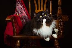 Μαύρη καθαρής φυλής σιβηρική γάτα που βρίσκεται σε μια καρέκλα Στοκ φωτογραφία με δικαίωμα ελεύθερης χρήσης