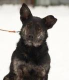 Μαύρη και γκρίζα μιγάς συνεδρίαση σκυλιών στο χιόνι Στοκ φωτογραφία με δικαίωμα ελεύθερης χρήσης