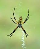 Μαύρη και κίτρινη αράχνη κήπων (aurantia Argiope) Στοκ εικόνα με δικαίωμα ελεύθερης χρήσης