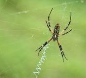 Μαύρη και κίτρινη αράχνη κήπων (aurantia Argiope) Στοκ Εικόνα