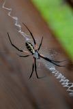 Μαύρη και κίτρινη αράχνη Argiope στον Ιστό Στοκ εικόνα με δικαίωμα ελεύθερης χρήσης