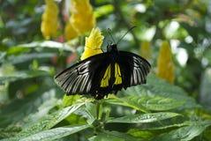 Μαύρη και κίτρινη πεταλούδα Στοκ Εικόνα