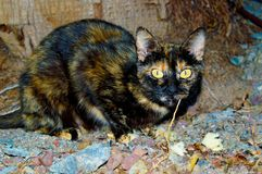 Μαύρη και καφετιά περιπλανώμενη γάτα με τα πράσινα μάτια στοκ φωτογραφία με δικαίωμα ελεύθερης χρήσης