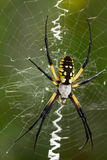 Μαύρη και χρυσή αράχνη φερμουάρ Στοκ Εικόνες