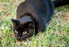 Μαύρη καφετιά γάτα με τα κίτρινα μάτια που επιτίθενται ξαφνικά κυνηγώντας Στοκ εικόνα με δικαίωμα ελεύθερης χρήσης