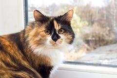 Μαύρη κόκκινη άσπρη εσωτερική γάτα τρεις-χρώματος με τα κίτρινα μάτια Στοκ εικόνες με δικαίωμα ελεύθερης χρήσης