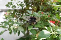 Μαύρη κόκκινη και άσπρη πεταλούδα Στοκ εικόνες με δικαίωμα ελεύθερης χρήσης