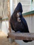 Μαύρη κόκκινη ουρά αυστραλιανό Cockatoo Στοκ φωτογραφία με δικαίωμα ελεύθερης χρήσης