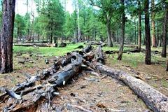 Μαύρη λίμνη φαραγγιών, κομητεία Ναβάχο, Αριζόνα, Ηνωμένες Πολιτείες, εθνικό δρυμός Apache Sitegreaves Στοκ Φωτογραφίες