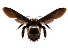 Μαύρη μέλισσα, μεγάλο μέγεθος, το άσπρο υπόβαθρο που απομονώνεται με στοκ εικόνες