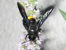 Μαύρη μέλισσα Στοκ εικόνα με δικαίωμα ελεύθερης χρήσης