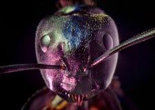 Μαύρη μακροεντολή μυρμηγκιών ξυλουργών Στοκ Εικόνες