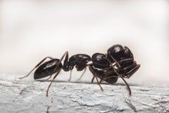 Μαύρη μακροεντολή μυρμηγκιών ξυλουργών Στοκ φωτογραφία με δικαίωμα ελεύθερης χρήσης