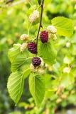 Μαύρη μουριά νωπών καρπών με τα φύλλα, τις κόκκινες ώριμες και κόκκινες unripe μουριές στον κλάδο του δέντρου Στοκ Φωτογραφίες