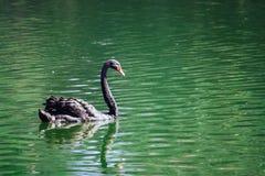Μαύρη μόνη κολύμβηση κύκνων σε μια λίμνη με το πράσινο νερό Στοκ Φωτογραφία