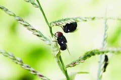 Μαύρη μύγα δύο στο πράσινο φύλλο τομέων Στοκ φωτογραφία με δικαίωμα ελεύθερης χρήσης