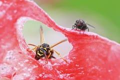 Μαύρη μύγα και ριγωτή σφήκα που σέρνονται σε ένα juicy καρπούζι Στοκ Εικόνες