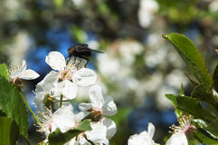 Μαύρη μύγα σε ένα άσπρο λουλούδι Στοκ Εικόνα