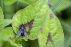 Μαύρη μύγα σε ένα φύλλο στοκ εικόνες με δικαίωμα ελεύθερης χρήσης
