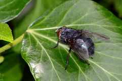 Μαύρη μύγα στο φύλλωμα Στοκ εικόνες με δικαίωμα ελεύθερης χρήσης