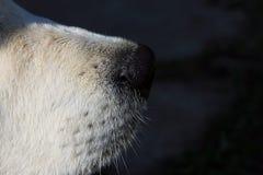 Μαύρη μύτη και mustache λευκό χρυσό retriever σκυλιών στο σχεδιάγραμμα Στοκ φωτογραφία με δικαίωμα ελεύθερης χρήσης