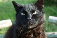 μαύρη νορβηγική δασική γάτα, μακρυμάλλης Στοκ εικόνες με δικαίωμα ελεύθερης χρήσης