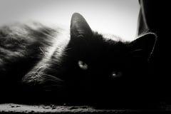 Μαύρη νορβηγική δασική γάτα Στοκ Εικόνα