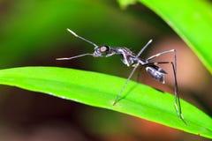 Μαύρη ξυλοπόδαρο-με πόδια μύγα Στοκ εικόνες με δικαίωμα ελεύθερης χρήσης