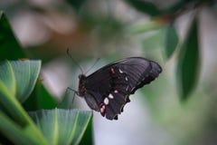 Μαύρη ομορφιά Στοκ φωτογραφία με δικαίωμα ελεύθερης χρήσης
